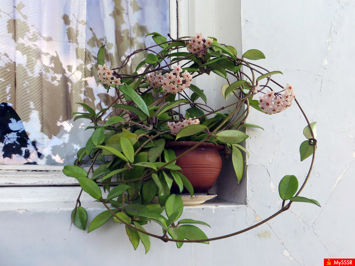 Дом цветы фото хойя